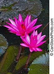 水, 粉红百合花