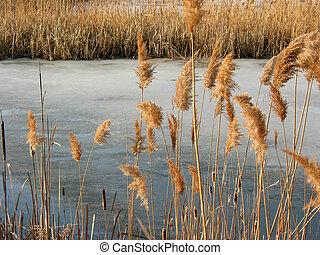 池, 冬, あし