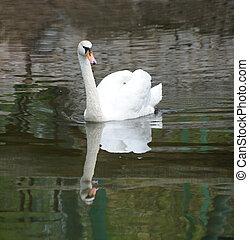 池, 白鳥