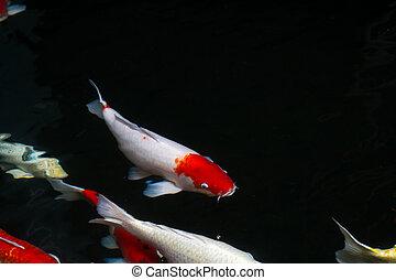 池, 鯉, fish, 水泳