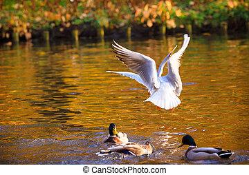 池, 鳥, 水泳