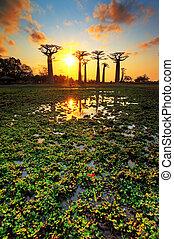 池, baobab, 日没