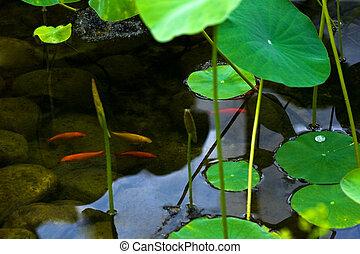 池, goldfishes