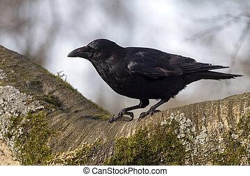 污濁, 烏鴉, 特寫鏡頭