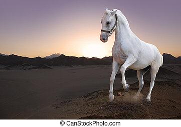 沙漠, 馬, 白色