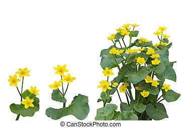 沼沢地マリーゴールド, 花, 植物