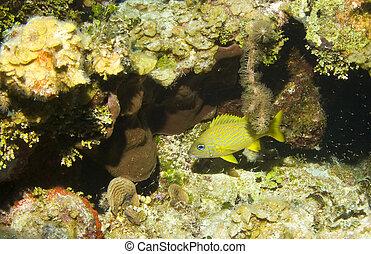 法語, 作呼嚕聲, 上, a, 加勒比海, 礁石