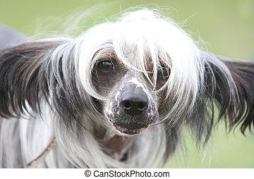 波頭を立てた, 犬, 中国語, 毛のない