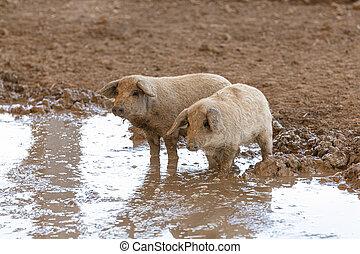 泥, 豚, 赤ん坊, wooly