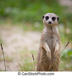 注意, 衛兵, meerkat, 站立