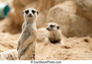 注意, meerkat, 站立, 位置