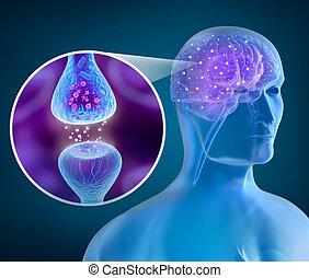 活動的, 受容器, 人間の頭脳