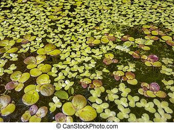 浮く, 植物, 水生