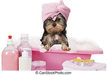 浴室, 取得, ヨークシャ, 犬, テリア