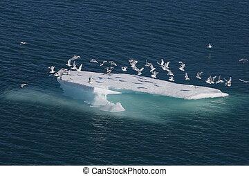 海の 鳥, 上に, 流氷, 中に, nunavut, (canadian, 北極である, sea)