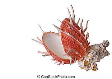 海殼, 以及, 珊瑚