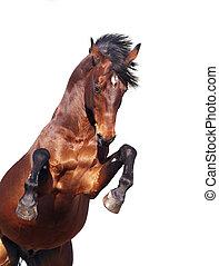 海灣馬, 培養, 被隔离, 在懷特上