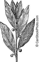海灣, 月桂樹, 或者, laurus nobilis, 葡萄酒, 雕刻