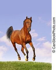 海灣, arab, 公馬
