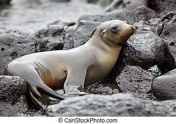海獅, 殖民地