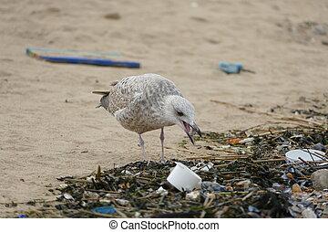 海鸥, 同时,, 塑料, 污染