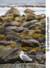 海鸥, fjord, 岸, 海