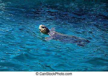 海龜, 在, 水