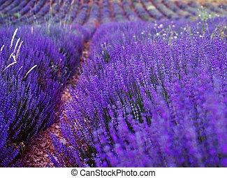 淡紫色, 培養, 領域, 在, provence.