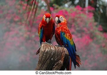 深紅の macaw, (ara, macao)