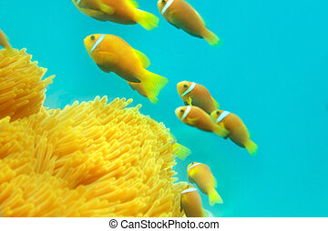 淺灘, ......的, clownfishes