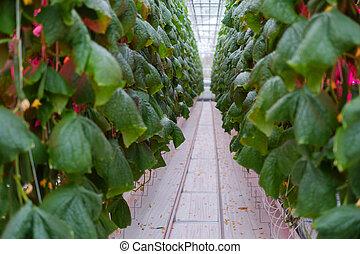 温室, きゅうり, 農場, 現代, 中