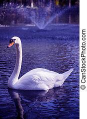 湖, 白色, 美麗, 天鵝