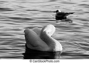 湖, 鴨子