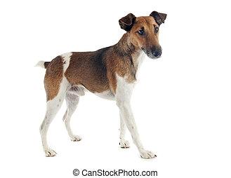 滑らかである, フォックステリア犬