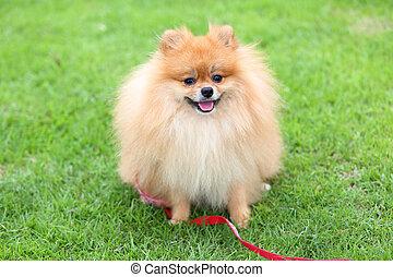 漂亮, 寵物, pomeranian, 修飾, 狗, 坐, 上, 綠色的草, 在家