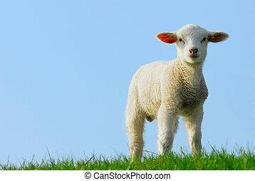 漂亮, 小羊, 在, 春天