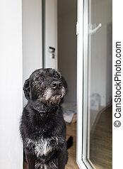 漂亮, 黑色的狗, 家, 等待, 為, 他的, 所有者