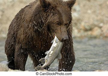 灰熊, 抓住, 熊, salmon.