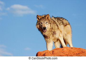 灰色の オオカミ, lupus), (canis