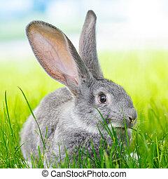 灰色的兔子, 在, 綠色的草