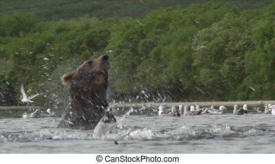 灰色的熊, 以及, salmon.