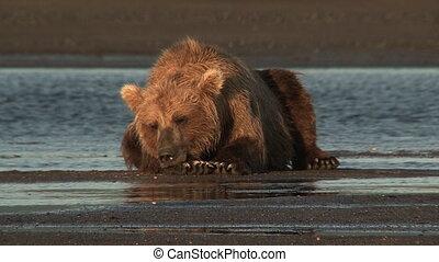 灰色的熊, 在, katmai, estuary.