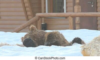 灰色的熊, 放松