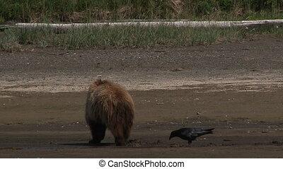 灰色的熊, (ursus, arctos)