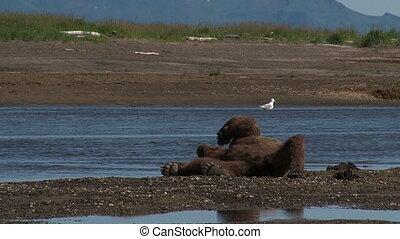 灰色的熊, (ursus, arctos, horr.)
