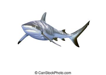 灰色的礁鯊魚
