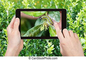 照片, 幼蟲, 昆虫, 黃楊木, 有害物, 農夫