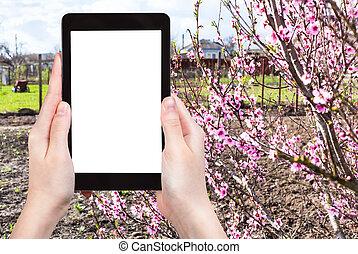 照片, 樹, 花園, 桃, 農夫