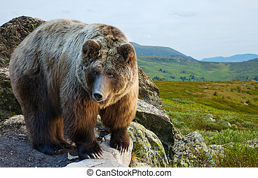 熊, 上, 石頭, 在, wildness