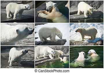 熊, 北極